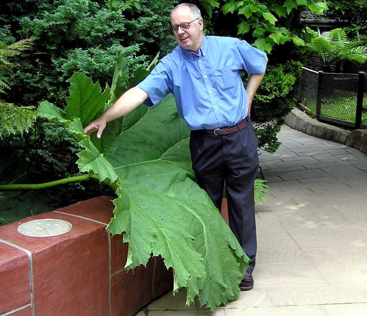 Giant umbrella sized leaves