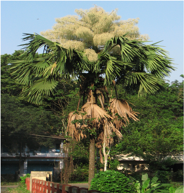 Talipot Palm's final flourish