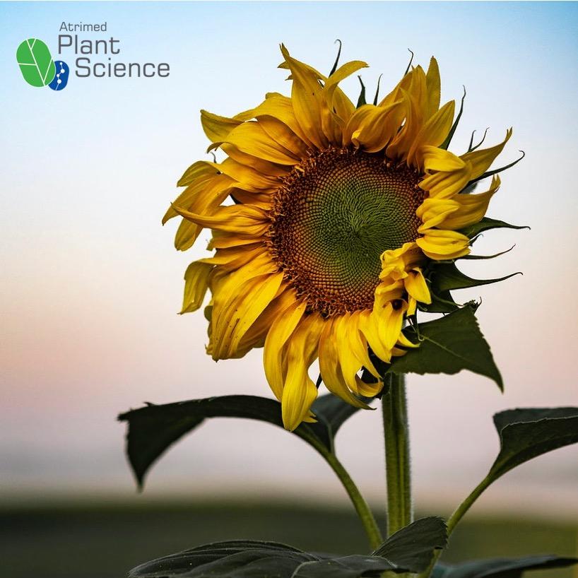 PlantScience Sunflower chasing the Sun